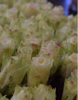 White roses 40cm