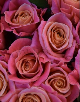 Light pink roses 70cm